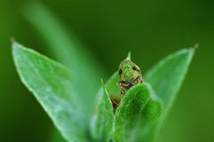 Кузнечик на листьях стоковые фото