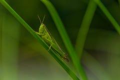 Кузнечик на листьях Стоковые Изображения