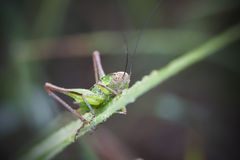 Кузнечик на лист зеленого растения Стоковые Фото