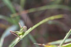 Кузнечик на лист зеленого растения Стоковая Фотография RF