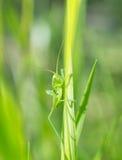 Кузнечик на конце травы вверх Стоковые Фотографии RF