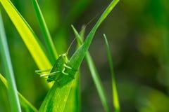 Кузнечик на конце травы вверх Стоковое фото RF