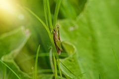 Кузнечик на лист конца травы вверх в поле Стоковые Изображения