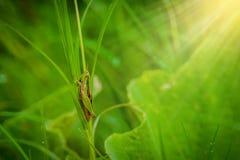 Кузнечик на лист конца травы вверх в поле Стоковые Фото