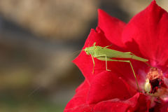 Кузнечик на розах цветка стоковая фотография rf