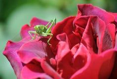 Кузнечик на розе Стоковые Фотографии RF