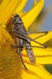 Кузнечик на цветке Стоковое Изображение