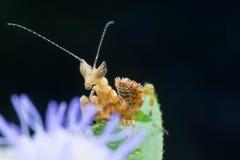 Кузнечик на цветке Стоковое Изображение RF