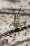 Кузнечик пустыни Стоковые Фото