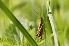 Кузнечик сидит на черенок травы Стоковые Фото