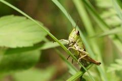 Кузнечик сидит на черенок травы Стоковое Фото