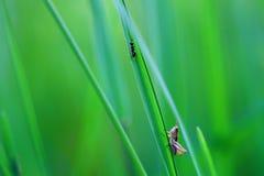 Кузнечик сидя в конце травы вверх Зеленый кузнечик Стоковое Изображение