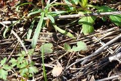 Кузнечик camuflaged в лесе Стоковое фото RF