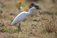 кузнечик egret скотин Стоковые Фотографии RF