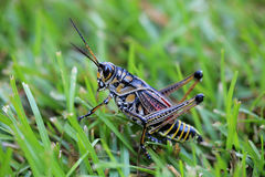 Кузнечик Lubber на траве Стоковые Фото
