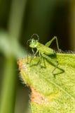 Кузнечик striped зеленым цветом Стоковые Изображения RF
