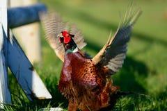 Кукарекать фазана крана стоковое фото