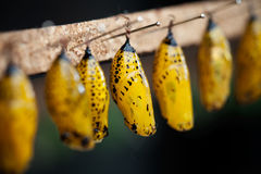 куколки бабочки Стоковая Фотография