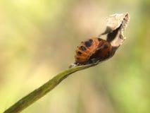 Куколки жука дамы Стоковое Изображение RF