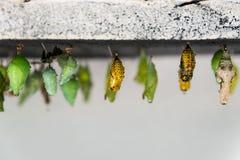 Куколки различных групп в составе butterlies на ферме Стоковые Фотографии RF