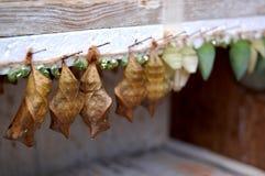 Куколки Chysalis сыча и бабочки Morpho сини Стоковые Фотографии RF