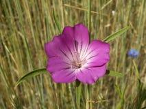 Куколь поля (githago l Agrostemma ), то Стоковые Изображения RF
