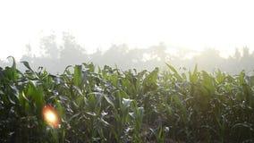 Кукурузное поле в видео отснятого видеоматериала утра Быстроподвижное scnene акции видеоматериалы