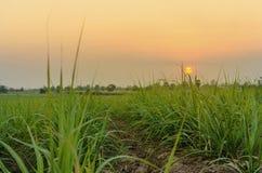 Кукурузное поле в заходе солнца Стоковые Изображения