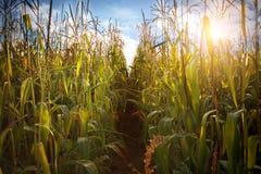 Кукурузное поле и небо с красивыми облаками Стоковое Изображение RF