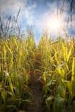 Кукурузное поле и небо с красивыми облаками Стоковая Фотография
