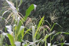 Кукурузное поле, лабиринты мозоли, шелк мозоли Стоковые Фото