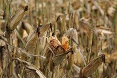 Кукурузное поле, маис также известный как мозоль, версия 3 Стоковое фото RF