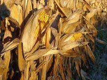 Кукурузное поле осени на времени сбора Стоковое фото RF