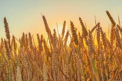 Кукурузное поле с backlight Стоковое Фото