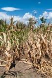 Кукурузное поле во время лета стоковое изображение rf