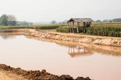 Кукурузное поле в засушливом сезоне, Таиланд Стоковое фото RF