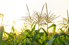 Кукурузное поле в заходе солнца Стоковое фото RF