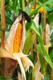 Кукурузное поле в осени Стоковая Фотография RF