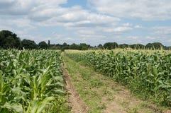 Кукурузное поле в солнце Стоковая Фотография RF