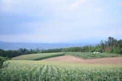 Кукурузное поле лета естественное с голубым небом Стоковые Изображения