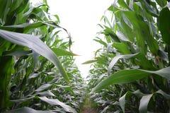 Кукурузное поле лета естественное с голубым небом Стоковые Фотографии RF