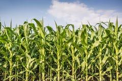 Кукурузное поле и голубое небо с облаками Стоковое Изображение