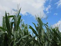 Кукурузное поле и голубое, отчасти облачное небо Стоковое Фото