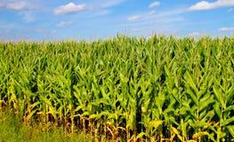 Кукурузное поле и голубые небеса Стоковые Фото