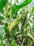 Кукурузное поле и мозоль стоковое изображение rf