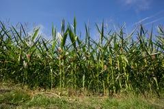Кукурузное поле на красивое summersday Стоковая Фотография RF