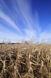 Кукурузное поле на последней осени стоковая фотография rf