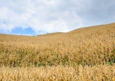 Кукурузное поле на холме Стоковые Изображения