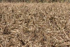 Кукурузное поле повлиянное на засухой Стоковая Фотография