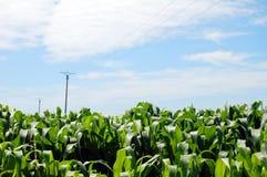 Кукурузное поле против голубого неба с облаками Стоковые Фото